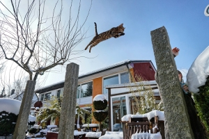 Bengal Cat jumping in snowy Garden